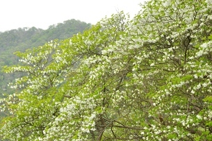 白八汐の花の写真素材 [FYI04289308]
