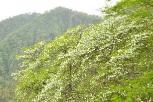 白八汐の花の写真素材 [FYI04289309]