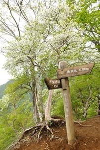 山道飾るシロヤシオの写真素材 [FYI04289310]