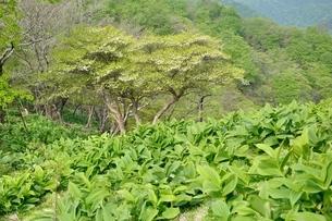 春の景色の檜洞丸の写真素材 [FYI04289325]