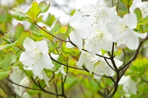 ゴヨウツツジの白花の写真素材 [FYI04289342]