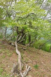 花咲く白八汐の木の写真素材 [FYI04289357]