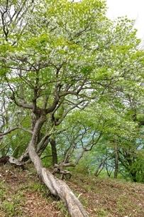 花咲く白八汐の木の写真素材 [FYI04289358]