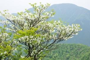 シロヤシオに大室山の写真素材 [FYI04289360]