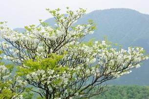 シロヤシオに大室山の写真素材 [FYI04289361]