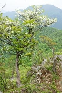 シロヤシオに大室山の写真素材 [FYI04289362]