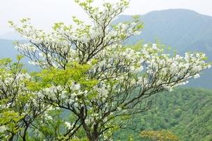 シロヤシオに大室山の写真素材 [FYI04289363]