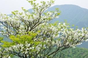 シロヤシオに大室山の写真素材 [FYI04289365]