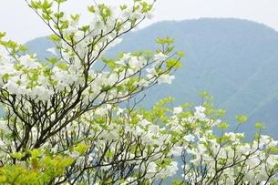 シロヤシオに大室山の写真素材 [FYI04289366]