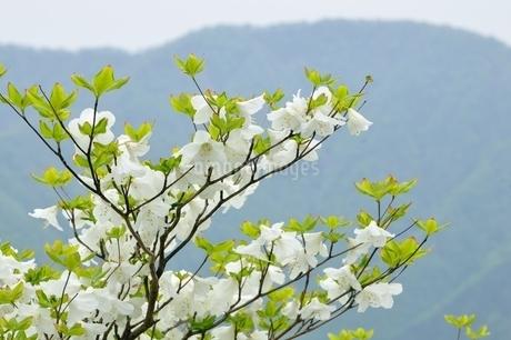 シロヤシオに大室山の写真素材 [FYI04289369]