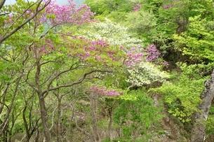 ツツジ咲く山道の写真素材 [FYI04289375]