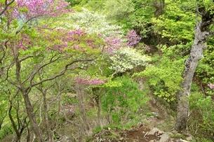 ツツジ咲く山道の写真素材 [FYI04289376]