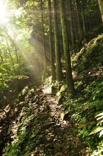 朝日射し込む森の写真素材 [FYI04289416]