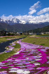 信州 長野県大町市 春、農具川の岸辺の芝桜の写真素材 [FYI04289487]