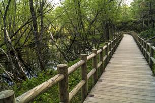 信州 長野県松本市上高地 大正池から田代湿原に行く遊歩道の写真素材 [FYI04289509]