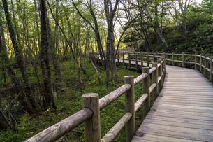 信州 長野県松本市上高地 大正池から田代湿原に行く遊歩道の写真素材 [FYI04289510]