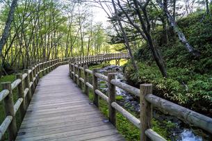 信州 長野県松本市上高地 大正池から田代湿原に行く遊歩道の写真素材 [FYI04289511]