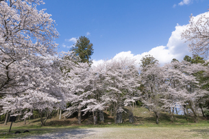 桜咲く摩利支天塚古墳の写真素材 [FYI04289577]