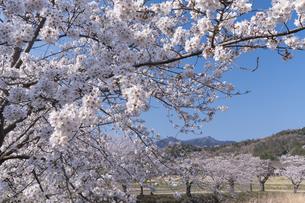 桜と筑波山の写真素材 [FYI04289582]