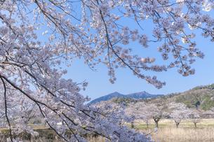 桜と筑波山の写真素材 [FYI04289583]