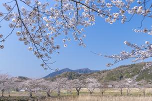 桜と筑波山の写真素材 [FYI04289584]