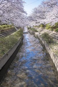 元荒川の桜並木の写真素材 [FYI04289587]