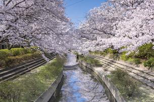 元荒川の桜並木の写真素材 [FYI04289588]