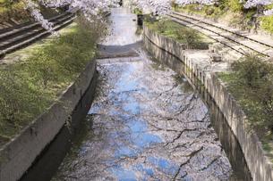 元荒川の桜並木の写真素材 [FYI04289589]