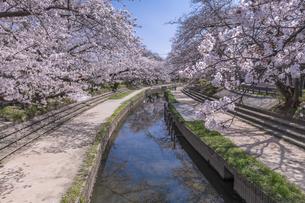 元荒川の桜並木の写真素材 [FYI04289591]