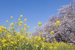 熊谷桜堤の桜と菜の花の写真素材 [FYI04289592]