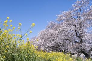 熊谷桜堤の桜と菜の花の写真素材 [FYI04289593]