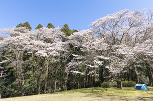 桜咲く泉自然公園の写真素材 [FYI04289596]
