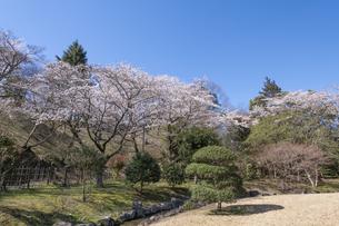 桜咲くあけぼの山公園の写真素材 [FYI04289605]