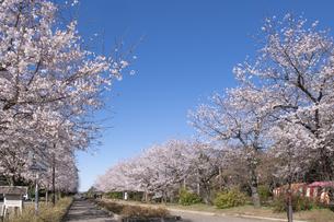 清水公園の桜並木の写真素材 [FYI04289613]
