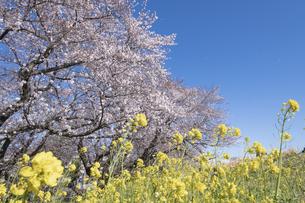 熊谷桜堤の桜と菜の花の写真素材 [FYI04289614]