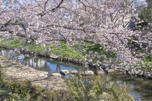 元荒川の桜並木の写真素材 [FYI04289615]