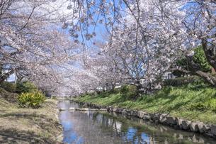 元荒川の桜並木の写真素材 [FYI04289616]