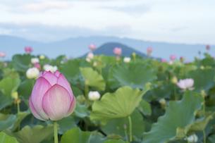 ハスの花の写真素材 [FYI04289645]