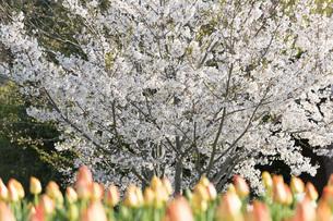 春爛漫の写真素材 [FYI04289660]