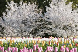春爛漫の写真素材 [FYI04289661]