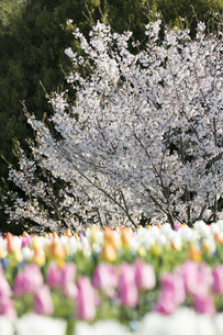 桜の写真素材 [FYI04289662]