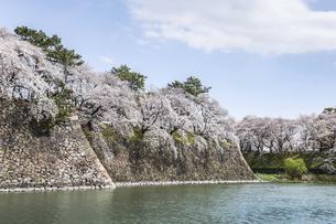 名古屋城石垣と満開のサクラ並木の写真素材 [FYI04289697]