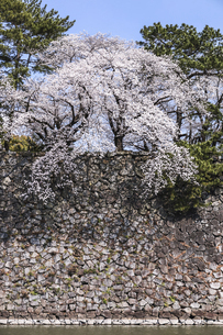満開のサクラと石垣の写真素材 [FYI04289701]