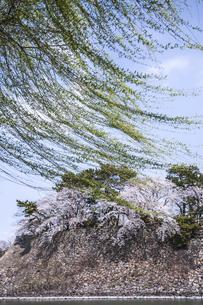 春風になびく新緑のヤナギ越しに見る満開のサクラと石垣の写真素材 [FYI04289703]