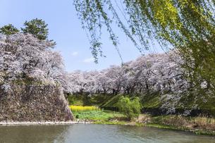 新緑のヤナギ越しに堀と石垣と満開のサクラ並木を見るの写真素材 [FYI04289707]