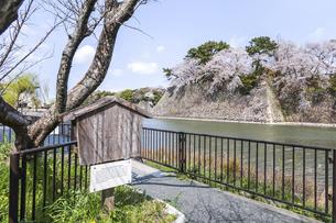 満開のサクラと石垣を背景に見る辰之口水道大樋の立て看板の写真素材 [FYI04289709]