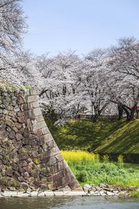 石垣と堀の満開のサクラ並木の写真素材 [FYI04289710]
