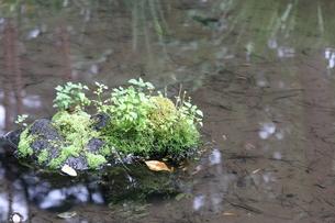 苔が生えた石の写真素材 [FYI04289772]