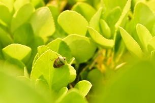 緑の葉にとまるカメムシの写真素材 [FYI04289839]
