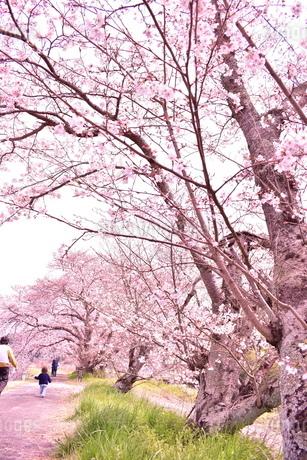 桜並木とその下を散歩する人々の写真素材 [FYI04289841]